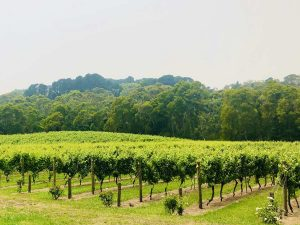 looking at the view of a mornington peninsula vineyard on a cycle tour